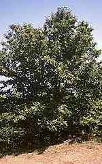 tiefwurzler bäume liste